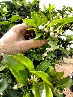 petites oranges Morell avril